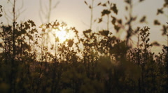 Rapeseed Flowers In Sunset Light Closeup Stock Footage