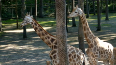 Giraffes and zebras at the zoo Stock Footage