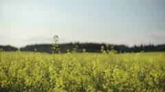Rapeseed Field and Forest on a Horizon Slidecamera - stock footage