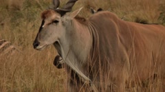 Eland trotting alongside zebras - close-up.mp4 Stock Footage
