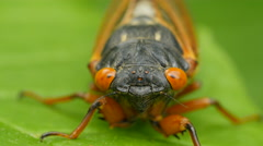 4K Brood V 17-year periodical cicada (Magicicada cassinii) - Front View - stock footage