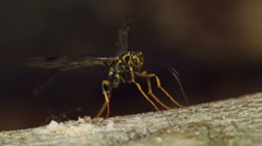 4K Giant Ichneumon Wasp (Megarhyssa macrurus) - Male searching for females Stock Footage