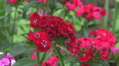 Beautiful wild red flower bunch windy day closeup ornamental blossom gift bloom  Stock Footage