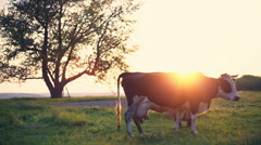 Dairy cow at countryside, beautiful sunset in the background. The old Stock Footage