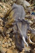 The prehistoric tri-horned armoured dinosaur - Triceratops horridus Stock Photos