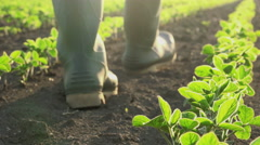 Responsible male farmer controlling soybean crops growth in cultivated field Stock Footage