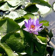 Real lake with lotus flowers, wild nature oriental Stock Photos