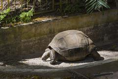 A giant tortoise in the botanical garden in Victoria in Mahe, Seychelles - stock photo