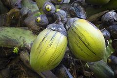 The famous Coco de Mer coconut in the botanical garden of Mahe, Seychelles - stock photo