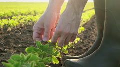 Responsible male farmer controlling soybean crops growth in cultivated field - stock footage