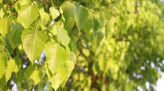 Green leaves on bodhi tree, Pho Stock Footage
