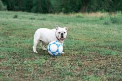 White English bulldog playing with soccer ball on the green field Stock Photos