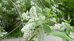 Blooming bird cherry tree Stock Footage