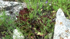 Sempervivum tectorum Stock Footage