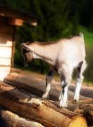 Young kid goat on wood in land. Meadow background - stock photo