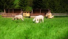 Little lambs grazing on a beautiful green meadow with dandelion - stock photo