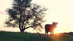 Cow on the background of sunset in the village in the garden. Ideal for video Stock Footage