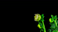 Time-Lapse of Opening Dahlia on Black Background - stock footage