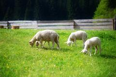 Little lambs grazing on a beautiful green meadow with dandelion Stock Photos