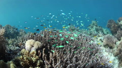 Damselfish Swimming Over Coral Reef Stock Footage