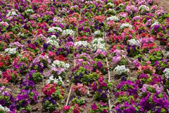 Coloured flowerbed Stock Photos