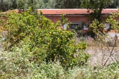 lemon tree on backyard european home - stock photo
