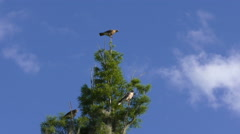 Red Shouldered Hawks family perches on a tree Stock Footage