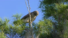 Red Shouldered Hawk Stock Footage