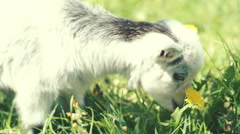 Baby goat, little goat, white goat on the green grass. RAW video record Stock Footage