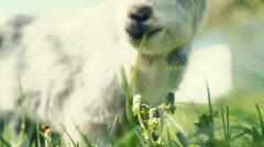 Portrait of a goat eating a grass on a green meadow. RAW video record Stock Footage