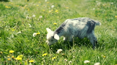 Goat eating happy green lush grass on the summer meadow. RAW video record Stock Footage