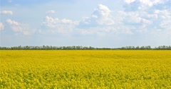 Yellow Rapeseed Flowers Field With Blue Sky - stock footage