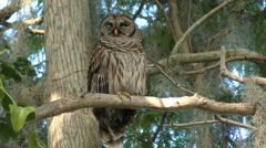 Barred Owl Perches on a Branch Stock Footage