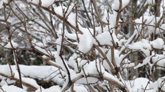 Tree branches covered with snow melting down - stock footage