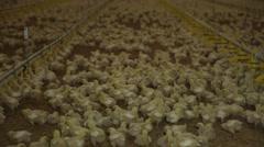 Raising chicken hens farm Stock Footage