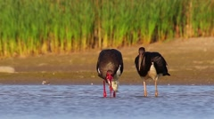 Black Stork. Feeding. Fishing family. Sequence. Stock Footage