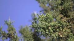 Pine Tree And Sky - stock footage
