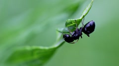 A lone ant on a stalk of grass. - stock footage
