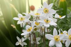 White anemones flowers in soft sunlight of dawn. Shallow focus. Stock Photos