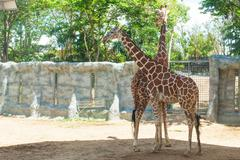 Giraffes in the zoo giraffes wildlife animals together Stock Photos
