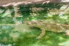 Albino Crocodile sleeping in water at zoo. Albino,Crocodile - stock photo