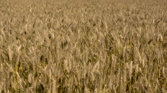 Gold field of wheat wave during a summer day Stock Footage
