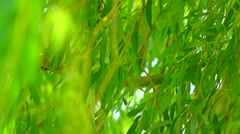 Willow tree moving in the wind wildy Stock Footage