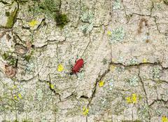 Cardinal beetle on bark surface Stock Photos