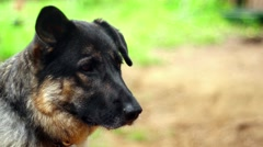 Lonely and cute dog longing for attention Stock Footage