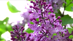 Purple lilac 01 Stock Footage