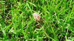 May-bug beetle in grass Stock Footage