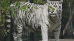 Gorgeous white tigress Stock Footage