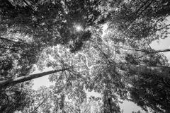 black and white of Sun rays shining through trees ,nature background - stock photo