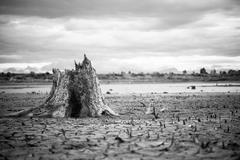 black and white of Stump with cracked mud in the bottom of a river showing dr - stock photo